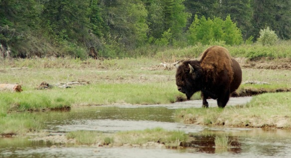 EEEEE!! Pretty bison!!