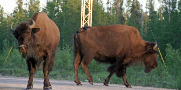TWO BISON are twice as nice though!