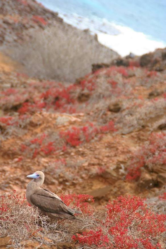 Where else would you find flying boobies!? (Seriously though, the birds are called red-footed boobies)